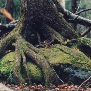 treerootswatermark